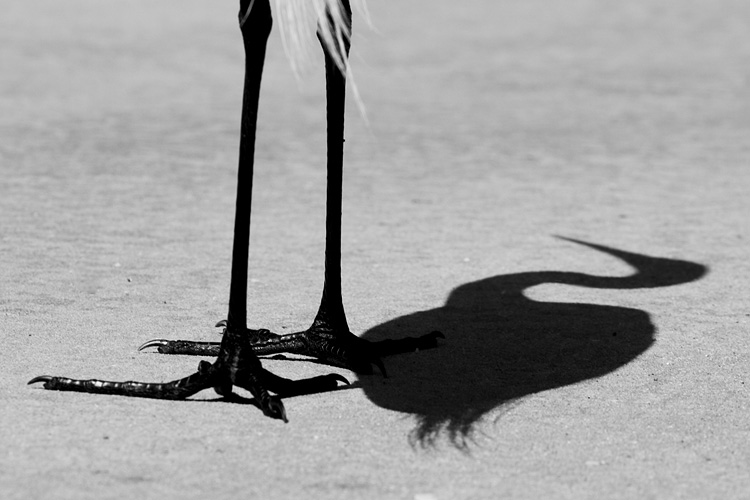 egret shadow